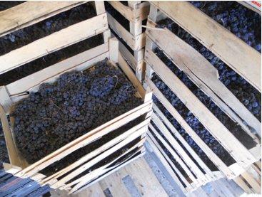 Suszenie winogron