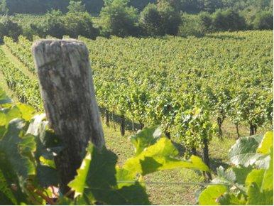 Winnica w Słowenii