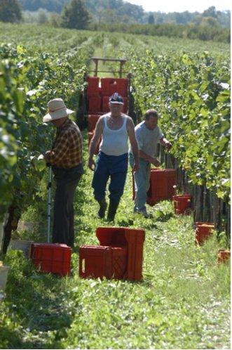 Princic - zbiory wina w Słowenii